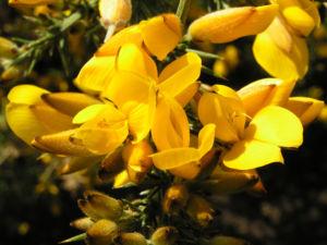 Europaeischer Stechginster Bluete gelb Ulex europaeus 11