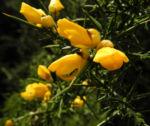 Europaeischer Stechginster Bluete gelb Ulex europaeus 12