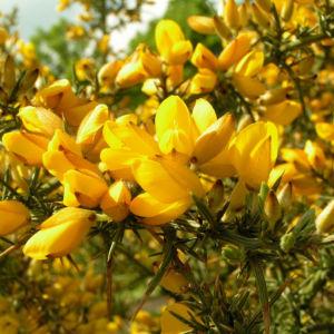 Europaeischer Stechginster Bluete gelb Ulex europaeus 13