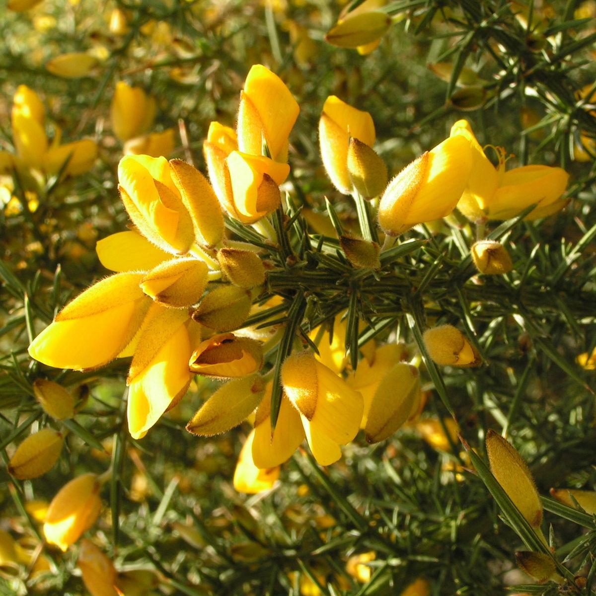 Europaeischer Stechginster Bluete gelb Ulex europaeus