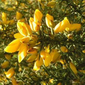Europaeischer Stechginster Bluete gelb Ulex europaeus 14
