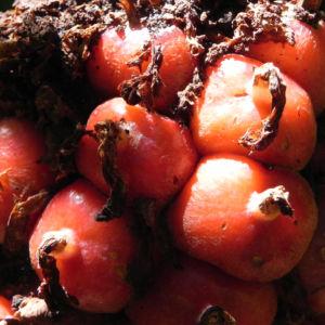 Fackel Ingwer Torch Ginger Bluete rot Etlingera elatior 11