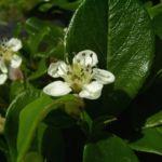 Bild: Fächer Zwergmispel Blüte weiß Cotoneaster horizontalis