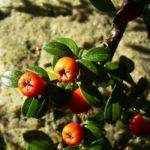 Faecher Zwergmispel Cotoneaster horizontalis 10