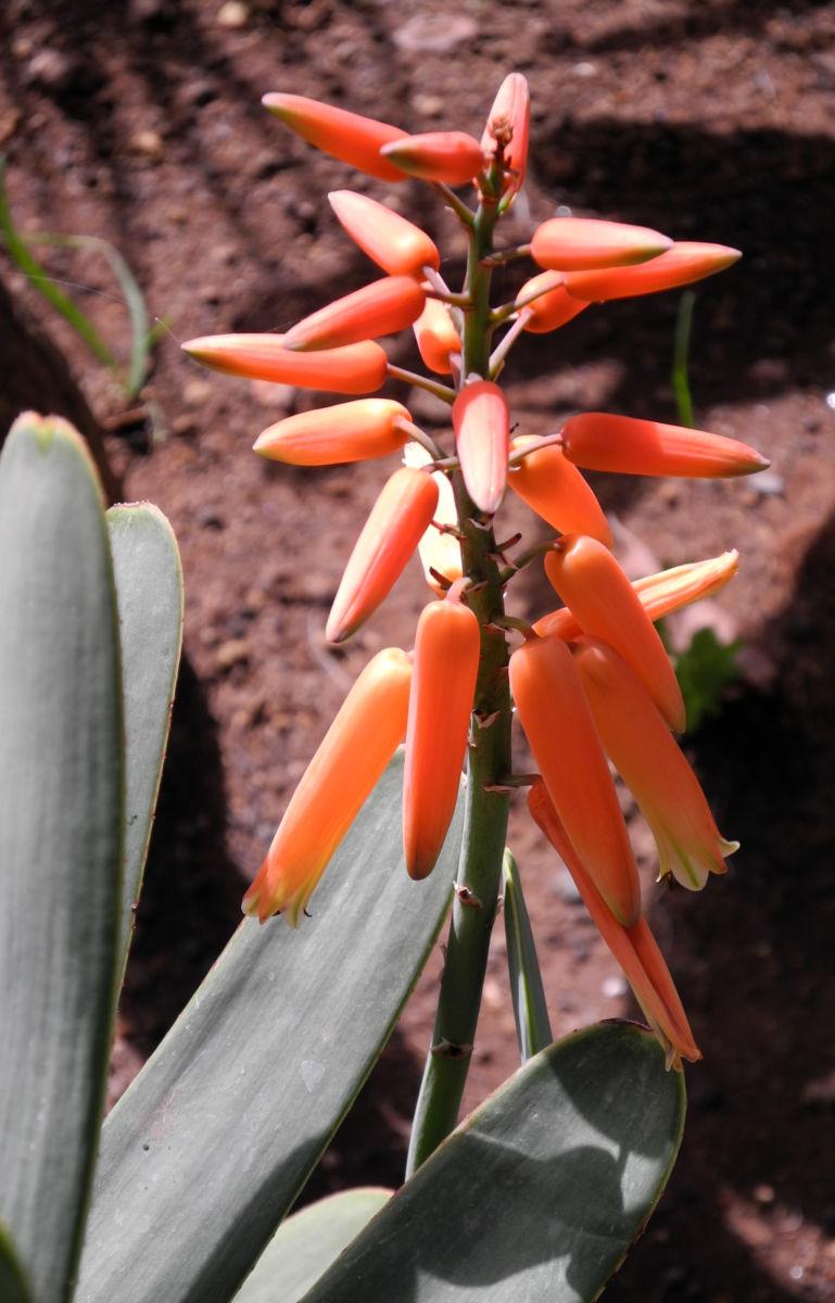 Faecheraloe Bluete orangerot Aloe plicatilis