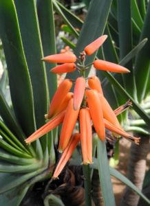 Faecheraloe Bluete orangerot Aloe plicatilis 09