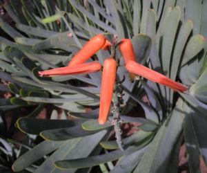 Faecheraloe Bluete orangerot Aloe plicatilis 14