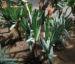 Zurück zum kompletten Bilderset Fächeraloe Blüte orangerot Aloe plicatilis