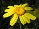 Faerber Hundskamille Bluete gelb Anthemis tinctoria 01