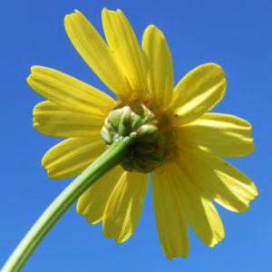 Faerber Hundskamille Bluete gelb Anthemis tinctoria 06