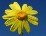 Faerber Hundskamille Bluete gelb Anthemis tinctoria 07