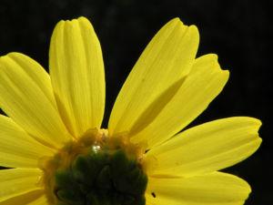 Faerber Hundskamille Bluete gelb Anthemis tinctoria 11