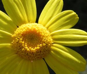 Faerber Hundskamille Bluete gelb Anthemis tinctoria 14