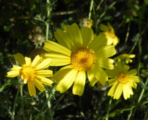 Faerber Hundskamille Bluete gelb Anthemis tinctoria 16