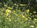 Faerber Hundskamille Bluete gelb Anthemis tinctoria 19