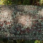 Falsche Pflaumenflechte gruenlich Evernia prunastri 01