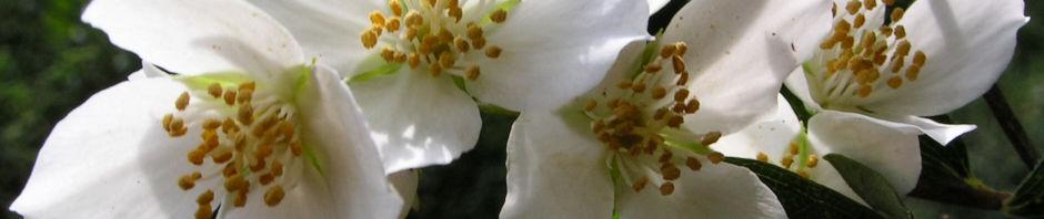 Anklicken um das ganze Bild zu sehen Falscher Jasmin Busch Blüte weiß - Philadelphus coronarius