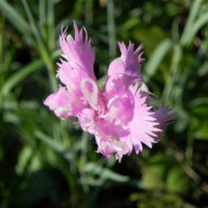 Feder Nelke Bluete rosa Dianthus plumarius 04