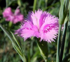 Feder Nelke Bluete rosa Dianthus plumarius 05