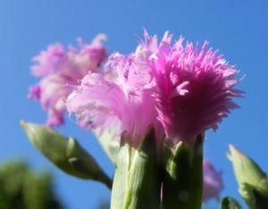 Feder Nelke Bluete rosa Dianthus plumarius 09