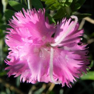 Feder Nelke Bluete rosa Dianthus plumarius 10