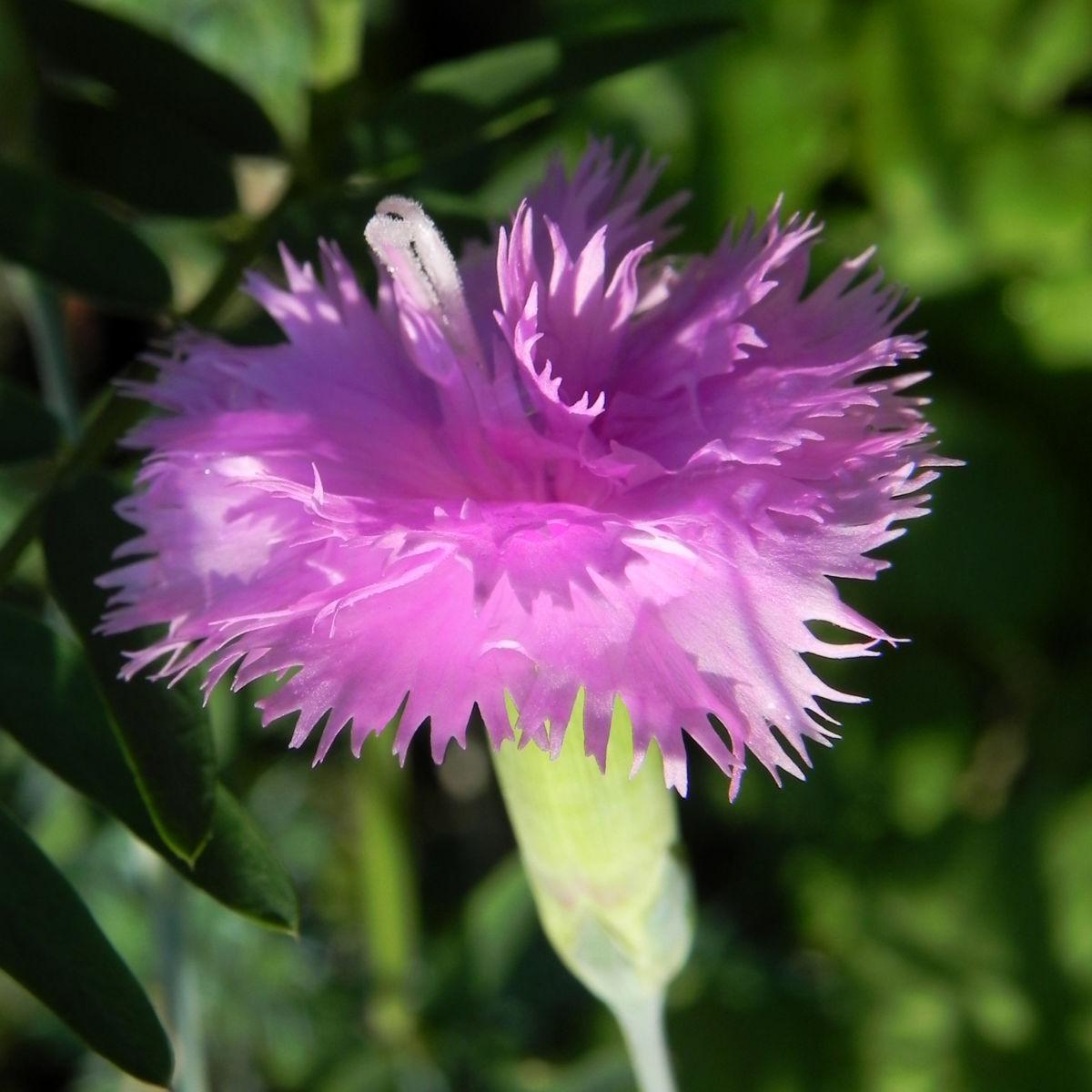 Feder Nelke Bluete rosa Dianthus plumarius