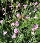 Bild: Feder-Nelke Blüte rosa Dianthus plumarius