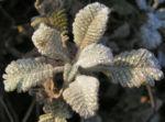 Federblatt Margerite Blatt vereist Tanacetum densum 03