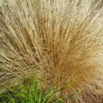 Federborstengras braun Winter Pennisetum alopecuroides 01