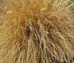 Federborstengras braun Winter Pennisetum alopecuroides 05