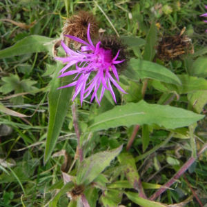 Federige Flockenblume Bluete lila Centaurea nervosa 24
