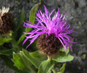 Federige Flockenblume Bluete lila Centaurea nervosa 27