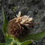 Federige Flockenblume Bluete lila Centaurea nervosa 30