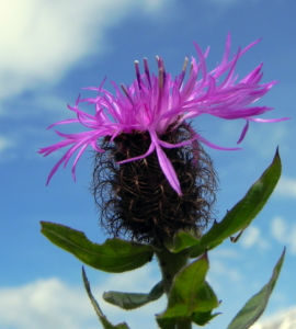 Federige Flockenblume Bluete lila Centaurea nervosa 32