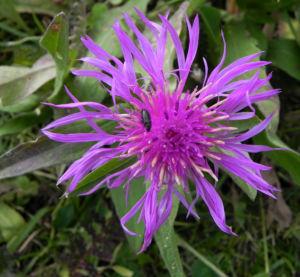 Federige Flockenblume Bluete lila Centaurea nervosa 35