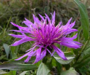 Federige Flockenblume Bluete lila Centaurea nervosa 36