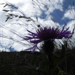 Federige Flockenblume Bluete lila Centaurea nervosa 37