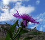 Bild: Federige Flockenblume Blüte lila Centaurea nervosa