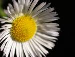 Bild: Feinstrahl Blüte weiß Erigeron annuus