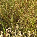 Feld Beifuss Staude Artemisia campestris 02
