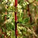 Feld Beifuss Staude Artemisia campestris 03