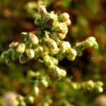 Feld Beifuss Staude Artemisia campestris 05