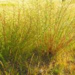 Feld Beifuss Zweige gruen Artemisia campestris 03