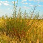 Feld Beifuss Zweige gruen Artemisia campestris 04