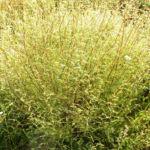 Feld Beifuss Zweige gruen Artemisia campestris 06