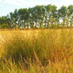 Feld Beifuss Zweige gruen Artemisia campestris 07