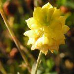 Feld Klee Bluete gelb Trifolium campestre 01