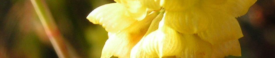 Anklicken um das ganze Bild zu sehen Feld-Klee Blüte gelb Trifolium campestre