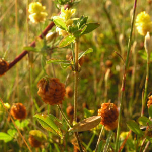 Feld Klee Bluete gelb Trifolium campestre 02