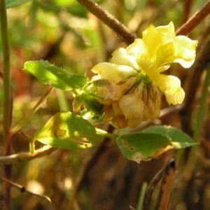 Feld Klee Bluete gelb Trifolium campestre 03